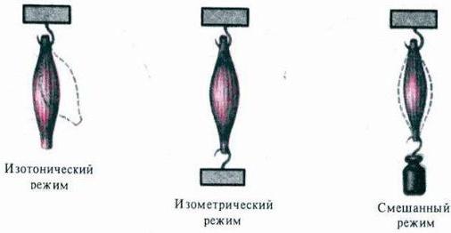 Механизм мышечного сокращения